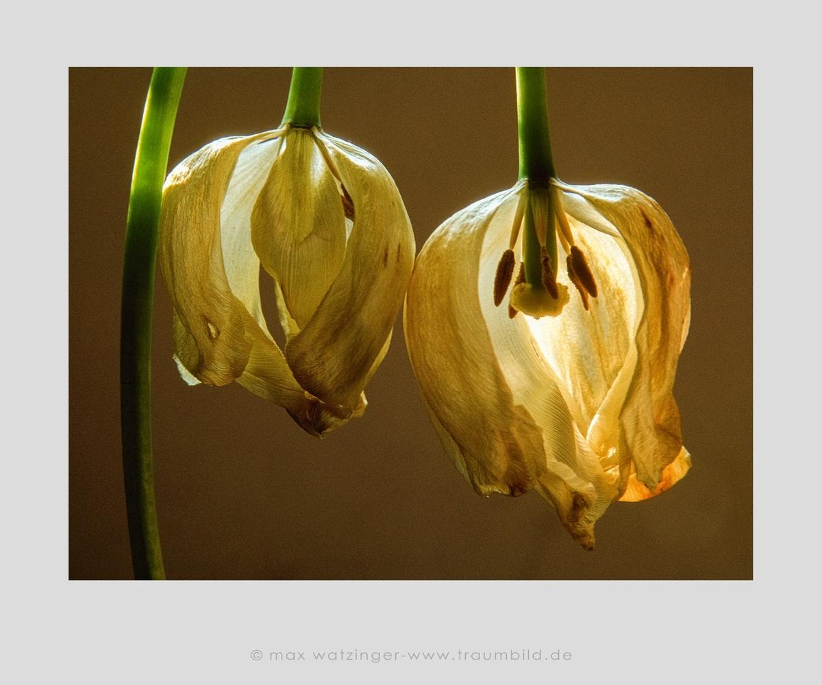 Blume-15