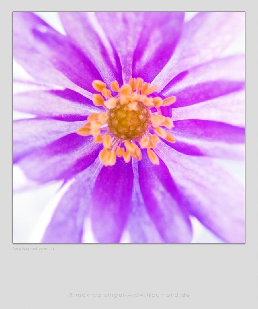 Blume-16