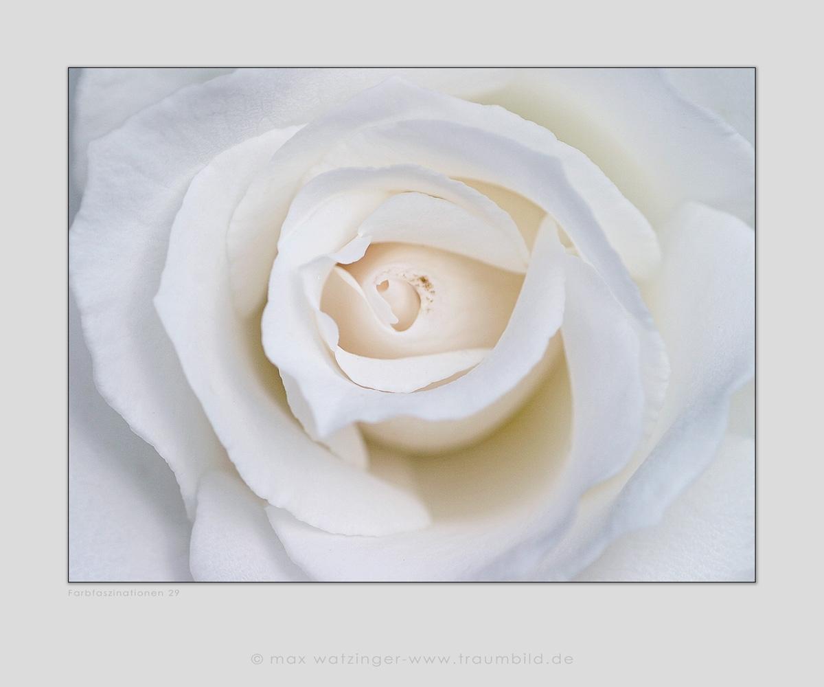 Blume-29
