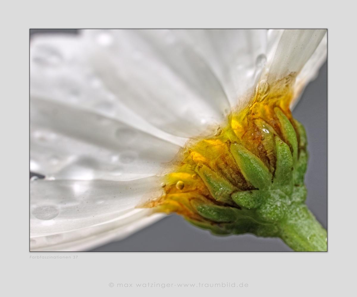 Blume-37