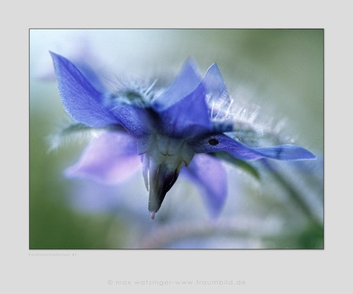Blume-41