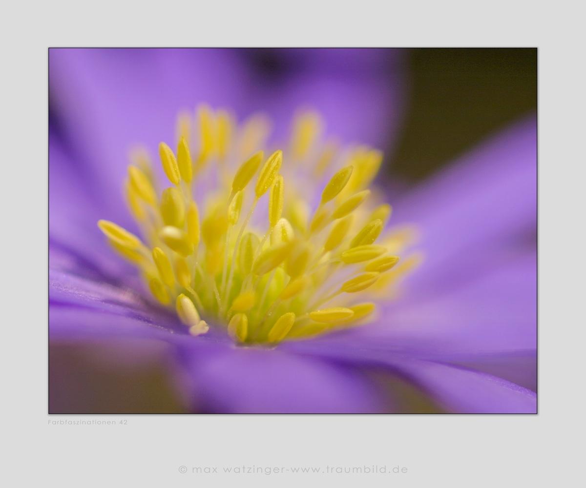 Blume-42