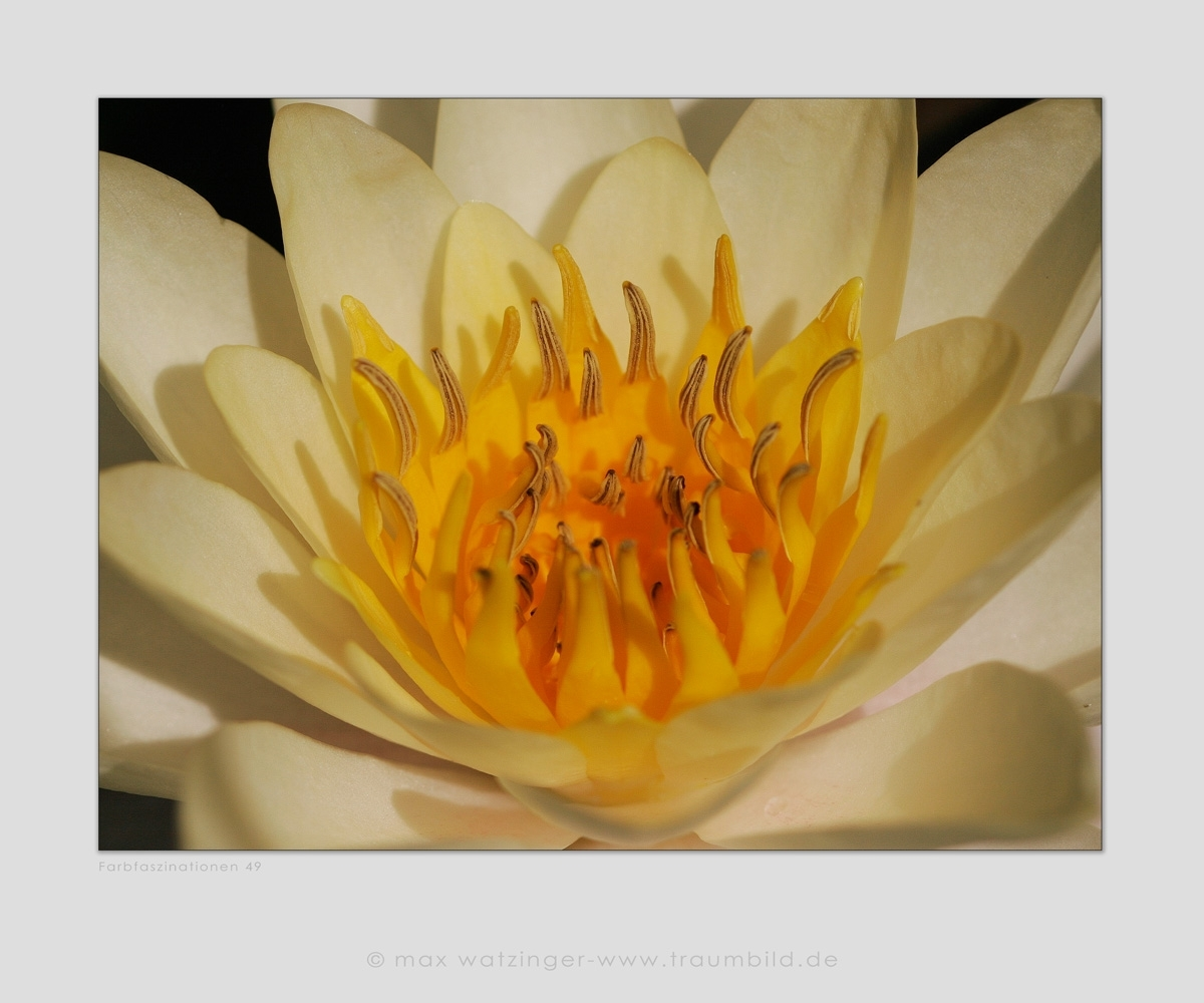 Blume-49