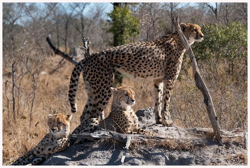 Geparden-18-56
