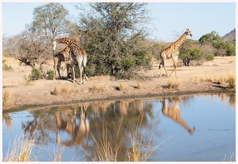 Giraffen-18-04