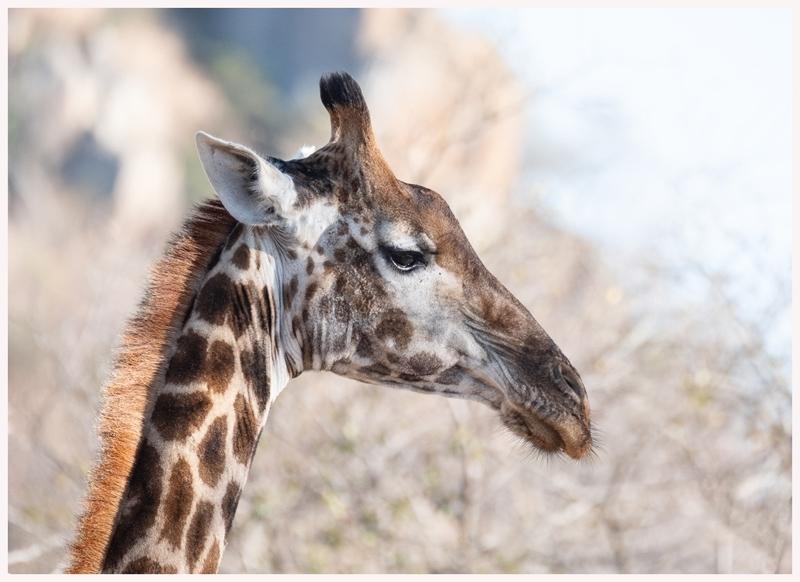 Giraffen-18-12