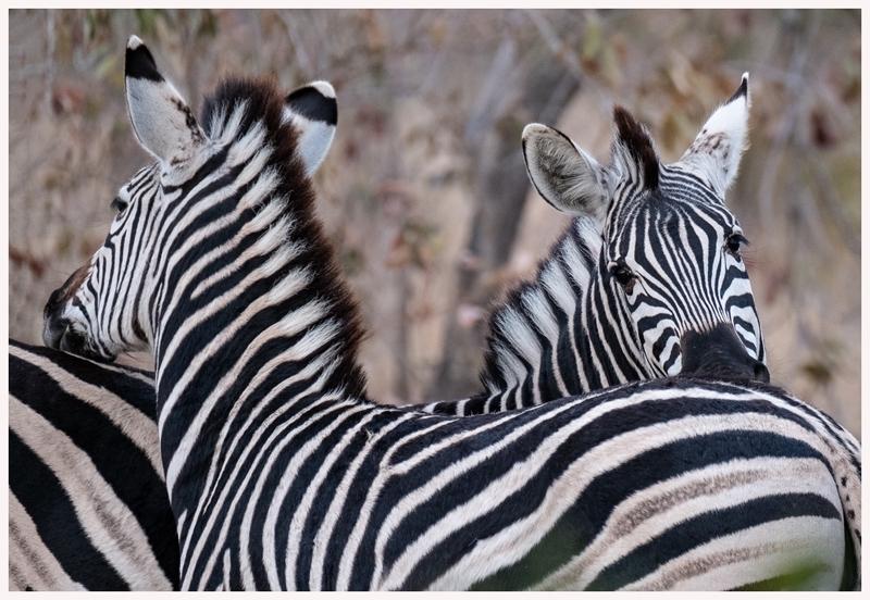Zebra-18-30