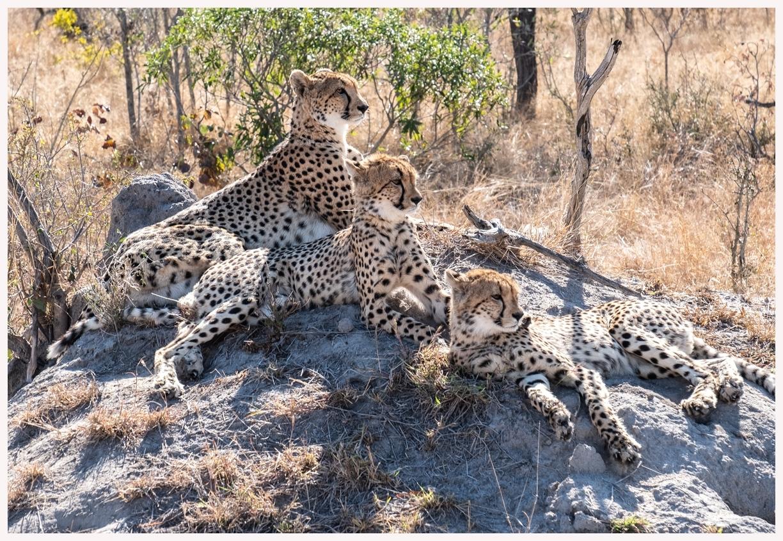 Geparden-18-06