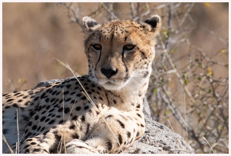 Geparden-18-44
