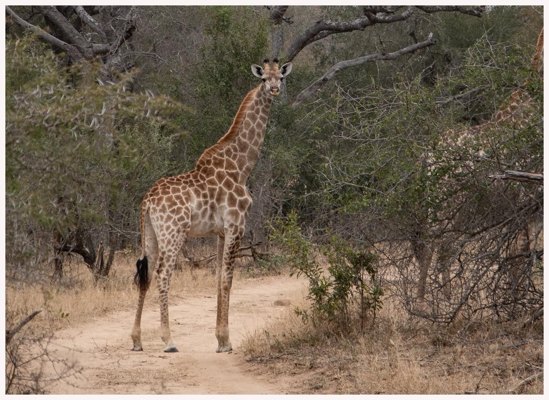 Giraffen-18-59