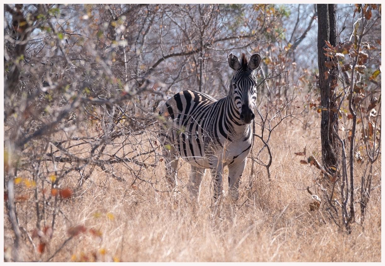 Zebra-18-01