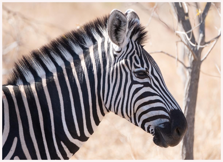 Zebra-18-18